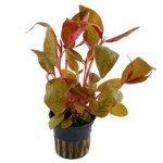 Huyết tâm lan lá lớn (Amaranth redroot) (Alternanthera reineckii 'lilacina')