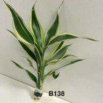 Phất dụ xanh (Phát Tài) (Dracaena sanderiana)