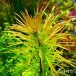 Báo văn đinh hương (Ludwigia inclinata)