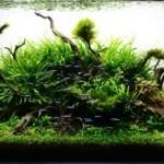 Cắt tỉa cây thủy sinh theo phong cách Nature Aquarium