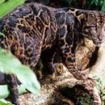Lần đầu tiên phát hiện loài báo mây quí hiếm tại Indonesia