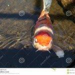 Cá chép Nhật Bản – Cyprinus carpio (Carp – Carpe, Koi carp)