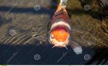 cá chép nhật bản