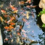 Cá Koi (Cá Chép vảy rồng)