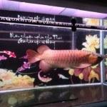 Cá rồng Châu Á