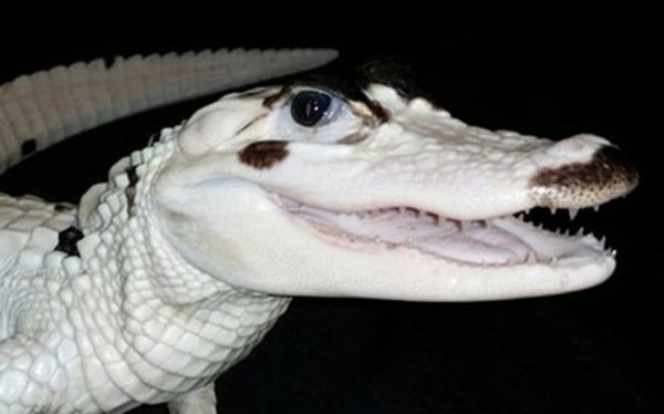 cá sấu trắng