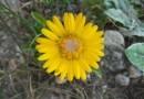 cách trồng hoa cúc