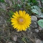 Cách trồng và chăm sóc hoa cúc
