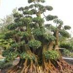 Đất tốt sẽ tạo ra cây bonsai hoàn hảo