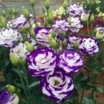 Chăm sóc hoa và cây cảnh ngày Tết