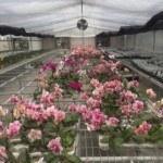 Cách chăm sóc hoa lan tươi lâu và đẹp (lan Hồ Điệp, lan Hoàng Thảo, lan Vanda)