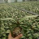 Kỹ thuật trồng và chăm sóc phong lan