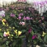 Lan hồ điệp (Phalaenopsis)