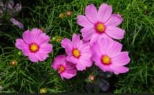hoa cúc sáo nhảy