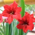 Cách trồng hoa huệ đỏ