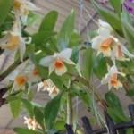 Hoa lan Biến dị – Lai tự nhiên – Lai nhân tạo?
