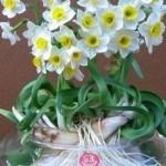 Hoa thủy tiên nở trong ngày Tết