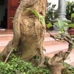 Khắc và uốn thân cây bonsai
