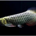 Cá rồng Kim Long Quá Bối (Scleropages Macrocephalus)