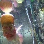 Ký sinh trùng bám trên cá La Hán