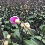 Sự ra hoa của lan Hồ Điệp