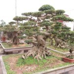Lịch sử và triết lý Bonsai