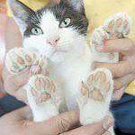 Con mèo nhiều ngón chân nhất thế giới