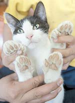 mèo nhiều chân