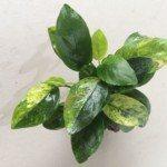 Ráy cẩm thạch – Marbled Nana (Anubias barteri var. nana 'Marble')