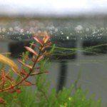 Thread algae (Rêu chỉ)