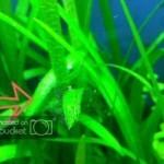 Black Hair algae (Rêu tóc đen)
