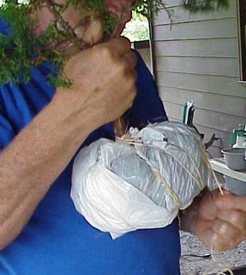 Cách tạo bonsai Tanuki - bọc đất