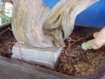 Cách tạo bonsai Tanuki bước 9