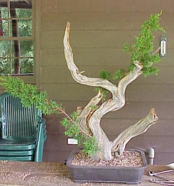 bonsai Tanuki thành phẩm