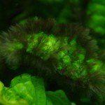 Beard algae (Tảo râu)