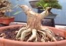 tạo rễ bonsai