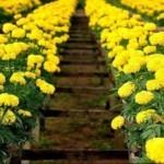 Trồng hoa cúc áp dụng công nghệ cao