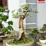 Cách uốn những nhánh cây lớn hoặc dễ gãy (Phần 3)