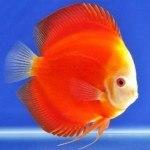 Astxanthin- Thuốc lên màu cho cá đĩa