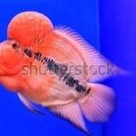 Cá La Hán: Đặc điểm, phân loại, cách chọn và cách nuôi