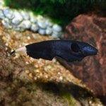 Cá Lông Gà (Cá lông vũ) – Đặc điểm, thức ăn và sinh sản
