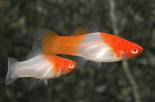 Cá mún Koi