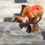 Cá vàng ( Cá ba đuôi) –  Giới thiệu, phân loại, tập tính sống