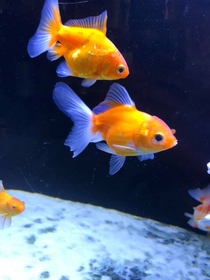 cá vàng thường