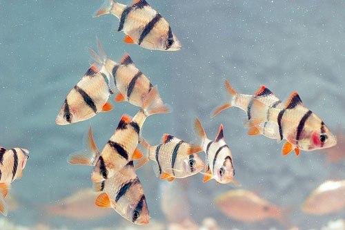 đàn cá tứ vân
