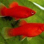 Cá mún ( Platy fish ): Giới thiệu, sinh sản và phân loại
