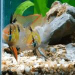 Cá Phượng Hoàng: Giới thiệu, hình ảnh, thức ăn và cách nuôi sinh sản