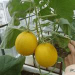 Cách trồng dưa lưới vàng bằng thùng xốp ngay trên sân thượng tại nhà