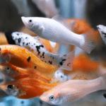 Cá bình tích ( Cá Trân Châu ): Đặc điểm, sinh sản và cách nuôi