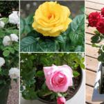 Cách trồng hoa hồng từ cành và gốc trong chậu đơn giản tại nhà